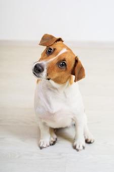 Netter jack russell-hund, der auf bett liegt und in camera schaut.