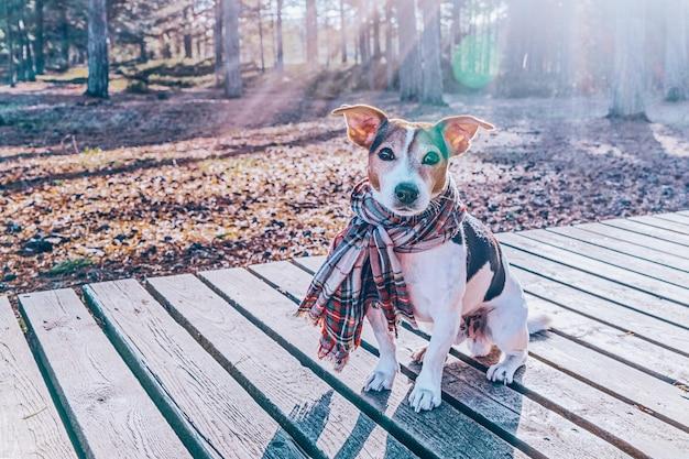 Netter jack russell-hund, der im schal sitzt auf hölzerner promenade trägt