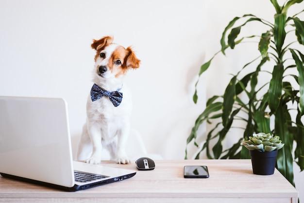 Netter jack russell hund, der zu hause am laptop arbeitet. eleganter hund, der eine fliege trägt. zu hause bleiben. technologie- und innenkonzept