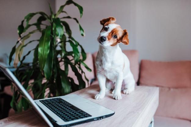 Netter jack russell hund, der zu hause am laptop arbeitet. technologiekonzept