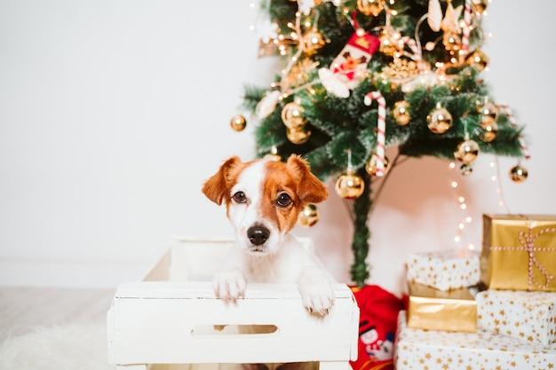 Netter jack russell-hund in einen kasten zu hause durch den weihnachtsbaum