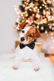 Netter jack russell-hund zu hause durch den weihnachtsbaum, hund, der eine fliege trägt