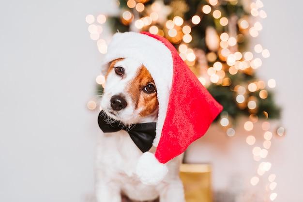 Netter jack russell-hund zu hause durch den weihnachtsbaum, hund, der einen roten sankt-hut trägt