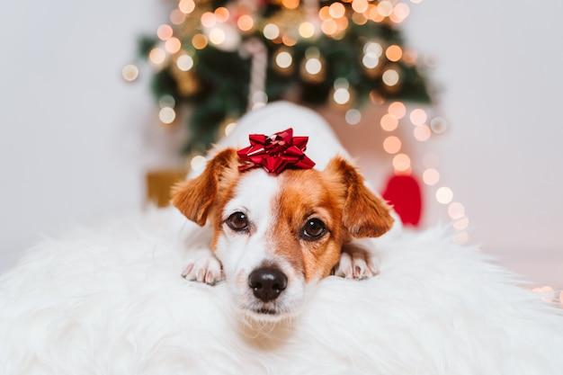 Netter jack russell-hund zu hause durch den weihnachtsbaum