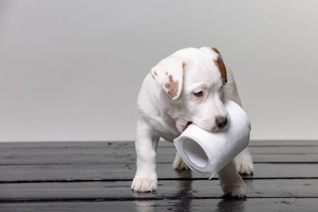 Netter jack russell welpe, der mit toilettenpapier spielt