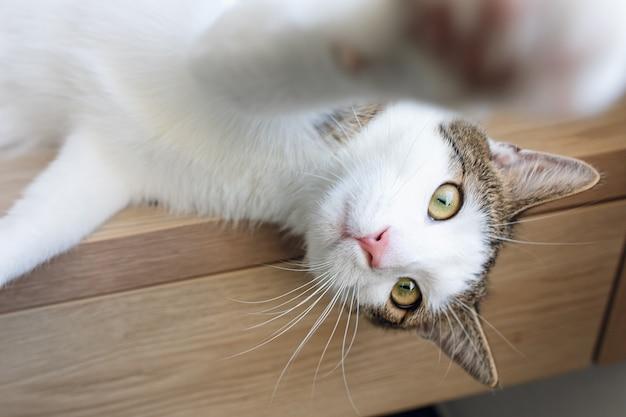 Netter junger haus zweifarbiger tabby und weiße katze, die auf regal sitzen und nach oben schauen, seitenansicht. selektiver fokus, kopierraum