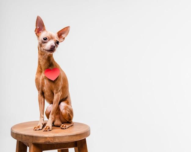Netter kleiner chihuahua-hund, der auf einem stuhl sitzt