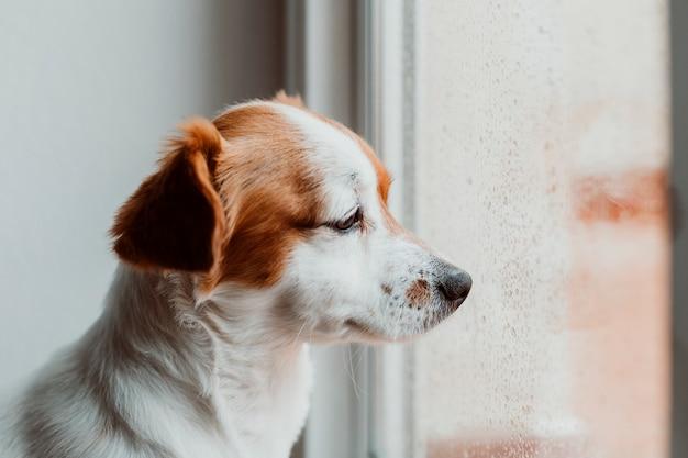 Netter kleiner hund, der am fenster sitzt. hund, der gelangweilt oder traurig schaut.