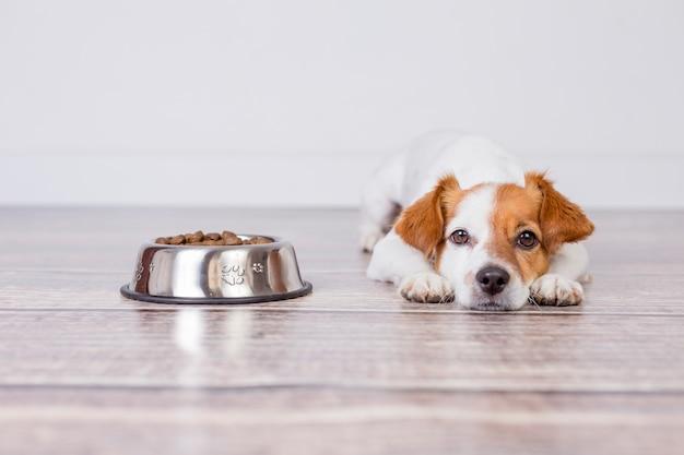 Netter kleiner hund, der auf mahlzeit wartet oder das hundefutter zu abend isst. er liegt auf dem boden