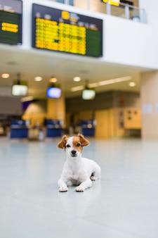 Netter kleiner hund, der geduldig am flughafen wartet