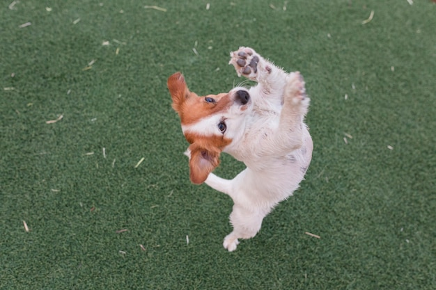 Netter kleiner hund, der um das lebensmittel oder festlichkeiten stehen auf zwei beinen bittet