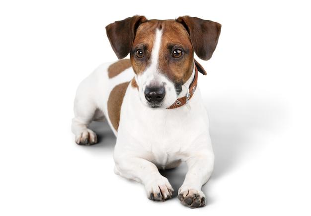 Netter kleiner hund jack russell terrier auf weißem hintergrund