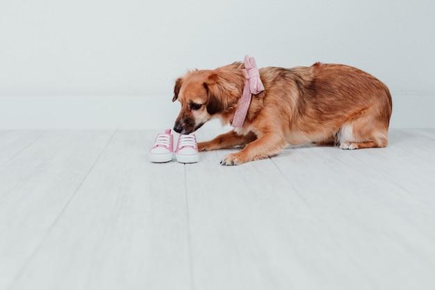 Netter kleiner hund zu hause, der kleine rosa babyschuhe riecht. familienkonzept