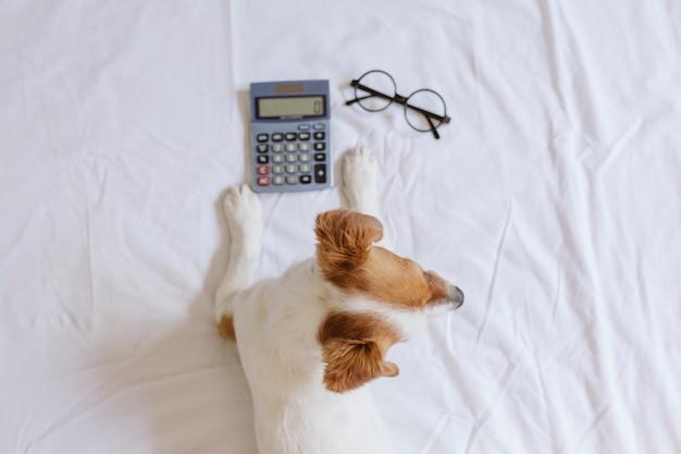 Netter kleiner hundebuchhalter, der mit taschenrechner auf bett denkt und berechnet