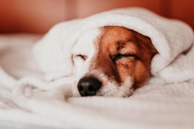 Netter kleiner jack russell hund, der auf bett an einem sonnigen tag ruht, der mit einer decke bedeckt ist