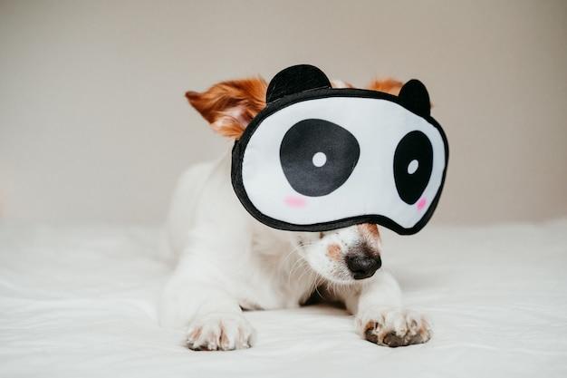 Netter kleiner jack russell-hund, der auf bett liegt und eine lustige pandaschlafenmaske trägt
