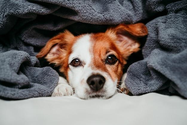 Netter kleiner jack russell-hund, der auf dem bett, bedeckt mit einer grauen decke sitzt