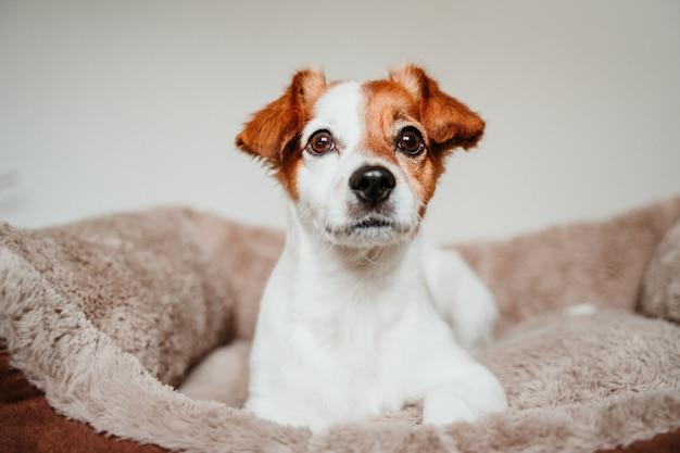 Netter kleiner jack russell-hund, der auf seinem bett, kamera untersuchend liegt