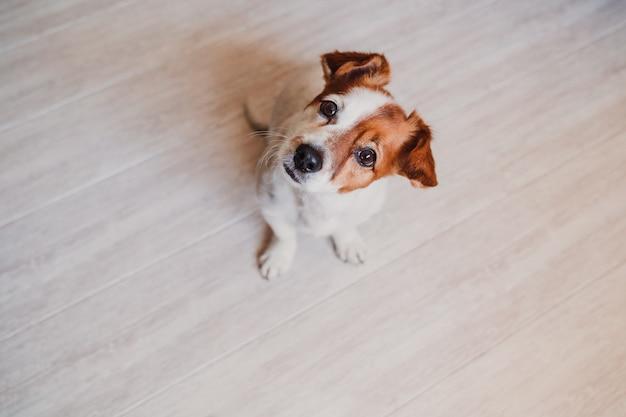 Netter kleiner jack russell-hund zu hause, der wartet, um sein lebensmittel in einer schüssel zu essen. haustiere drinnen