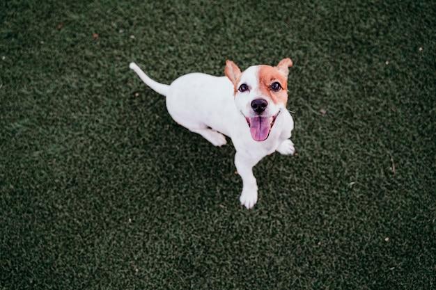 Netter kleiner jack- russellterrierhund, der draußen bereit sitzt zu spielen. glücklicher hund am sonnenuntergang. haustiere im freien