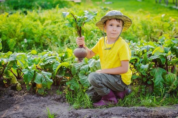 Netter kleiner junge, der einen haufen frische organische karotten und rüben im heimischen garten hält