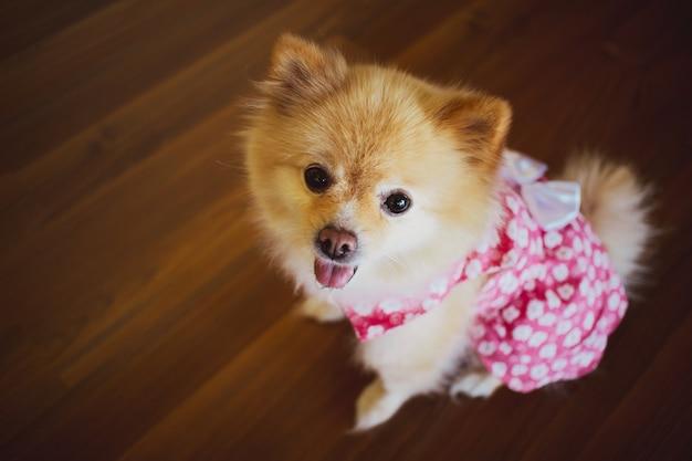 Netter kleiner pomeranian im rosafarbenen kleid.