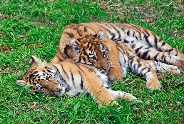 Netter kleiner tiger, der im gras spielt