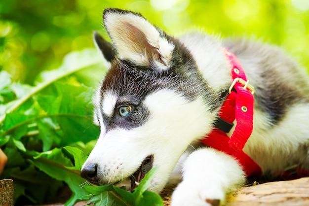 Netter kleiner welpe des sibirischen huskys in einer roten hundeleine sitzt auf einer unbefestigten straße