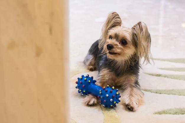Netter kleiner yorkshire-terrier