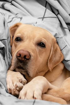 Netter labrador auf dem bett. der hund liegt bequem im bett.
