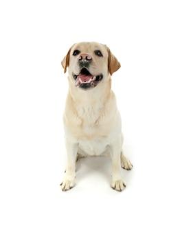 Netter labrador retriever auf weißer oberfläche