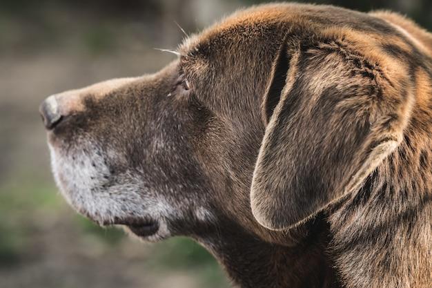 Netter labrador retriever, der im garten liegt