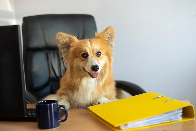 Netter lustiger corgi-hund sitzt auf einem stuhl und arbeitet an einem computer im büro an seinem schreibtisch