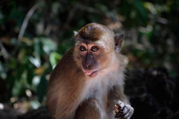 Netter makaken, porträt des kleinen affen