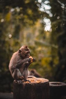 Netter makakenaffe, der eine frucht isst