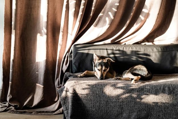 Netter mischlingshund, der auf einer couch schläft, harte blattschatten auf dem vorhang. wohnzimmer. braune und graue farben