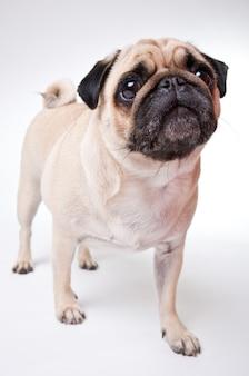 Netter mops-hund lokalisiert auf einer weißen wand
