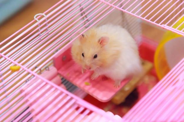 Netter orange weißer syrischer oder goldener hamster, der auf der holzverkleidungsplattform klettert, befestigte am käfig