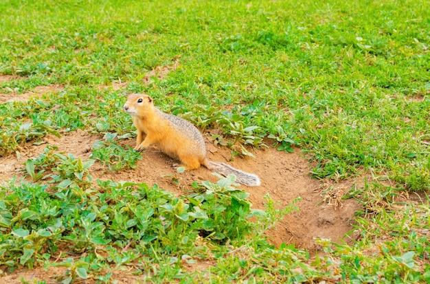 Netter pelziger gopher sitzt nahe einem loch im boden auf grünem feld mit gras.