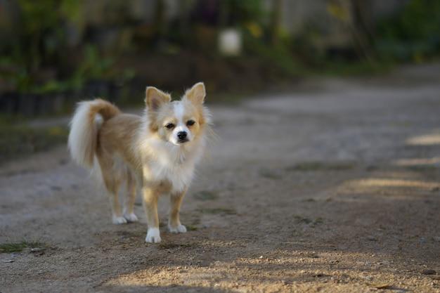 Netter pomeranian hund.
