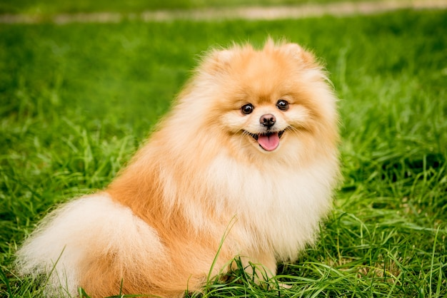 Netter pommerscher hund am park