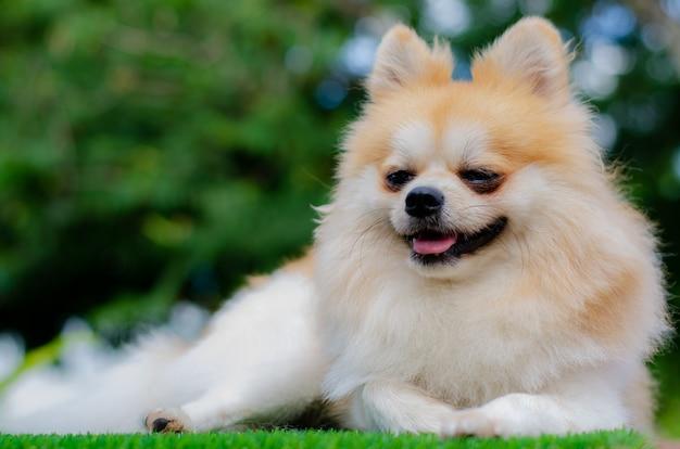 Netter pommerscher hund entspannen sich auf grünem gras,