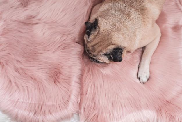 Netter pug schläft auf rosa pelzteppich. schläfriges und gemütliches konzept.