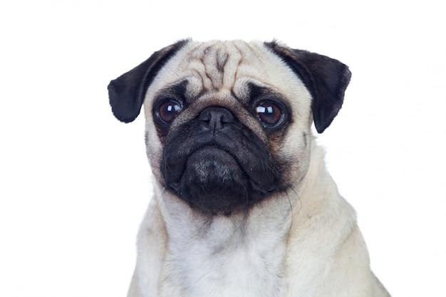Netter pugcarlino-hund mit dem weißen haar lokalisiert