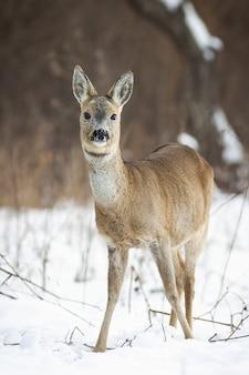 Netter reh, capreolus capreolus, damhirschkuh, der im winter vom vorderansicht auf schnee steht. vertikale zusammensetzung eines flauschigen wilden säugetiers mit braunem fell. tierwelt in der natur.