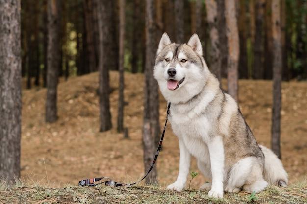 Netter reinrassiger hund mit leine, der auf seinen meister wartet, während er auf boden sitzt, der mit trockenem gras im wald bedeckt wird