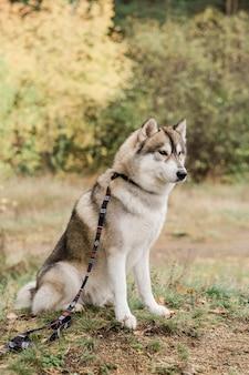 Netter reinrassiger husky-hund mit kreativem handgemachtem halsband und leine, die auf waldweg am herbsttag sitzen