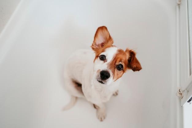 Netter reizender kleiner hund naß in der badewanne bereit, sauberes und trockenes haus zu erhalten. haustiere drinnen