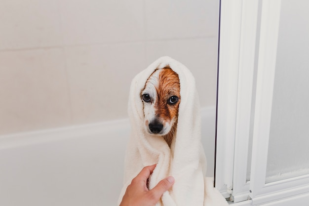Netter reizender kleiner hund nass in der badewanne. inhaber der jungen frau, der zu hause ihren hund sauber erhält