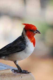 Netter roter kardinalvogel mit haube mit einer kleinen brotkrume.